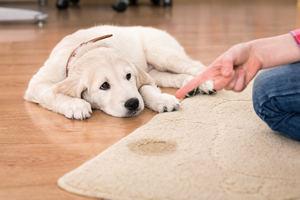 Pets & Carpets
